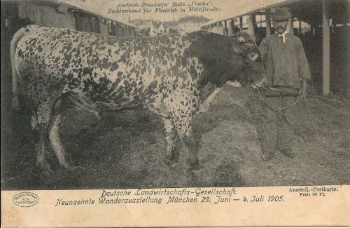 """Der Bulle """"Pascha"""". Postkarte der Deutschen Landwirtschafts-Gesellschaft zur Wanderausstellung in München 1905 (c Wilhelm Hoffmann A.G. Dresden)"""