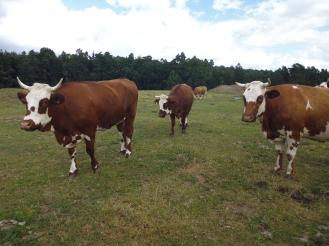 Rinder auf dem Hof Beck