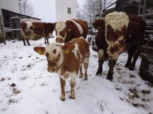 Ansbach-Triesdorf Kalb Sylvester